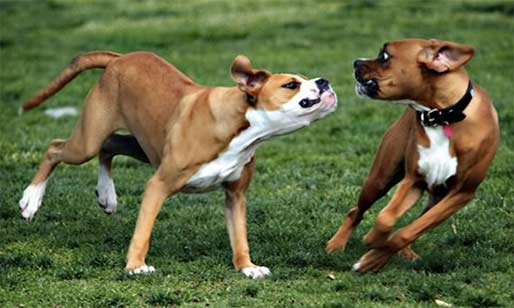 Inter-dog aggression